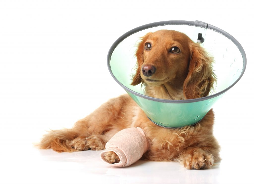 Small dog with red fur laying down with cast on leg and cone around head.